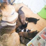 Sophie and her puppies in their foster home.
